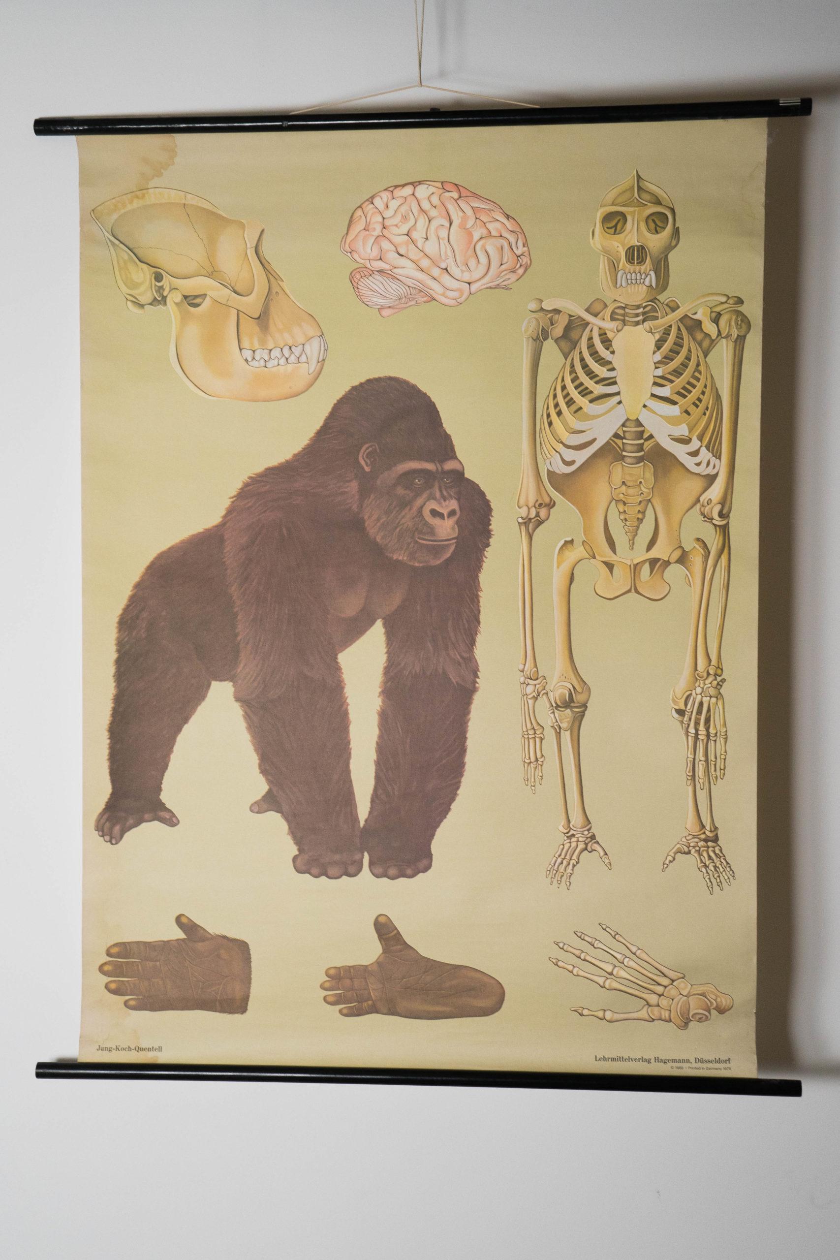 vista completa de poster colgado de gorila vintage